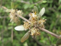 Olearia fimbriata - Banks Peninsula (Melissa Hutchison)
