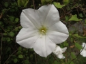 Calystegia tuguriorum - Banks Peninsula (Melissa Hutchison)